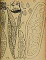 Bericht des Naturwissenschaftlichen Vereins für Schwaben und Neuburg (a.V.) in Augsburg (1906) (20371971491).jpg