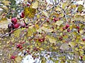 Berries in Birds Hill Provincial Park, Manitoba. (48895179666).jpg