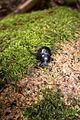 Big black beetle (6317923850).jpg