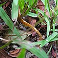 Bipalium nobile moving in the grass - 1.jpg