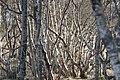 Birch trees 4324.jpg