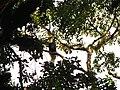 Bird Great Hornbill Buceros bicornis IMG 8659 24.jpg