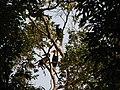 Bird Wreathed Hornbill Rhyticeros undulatus IMG 9195 (24).jpg