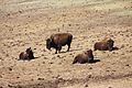 Bison herd at Genesee Park-2012 03 10 0604.jpg