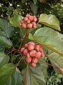 Bixa orellana - Lipstick Tree at Iritty 2.jpg