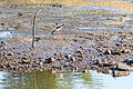Black-Necked Stilt (23135904050).jpg