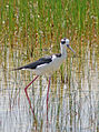Black-Necked stilt wading, NPSphotos (9101521249).jpg