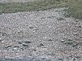 Black- browed albatross colony, Steeple Jason (3444429624).jpg