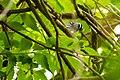 Black-and-white warbler (26743916687).jpg