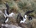 Black-browed Albatrosses jostling for space (5545897338).jpg