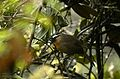 Black-chinned laughingthrush (Trochalopteron cachinnans) from Ooty JEG3603.jpg