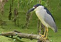 Black-crowned Night-Heron (32530545733).jpg