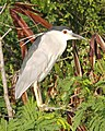 Black-crowned Night Heron (Nycticorax nycticorax), Nusa Dua, Bali, Indonesia (2).jpg