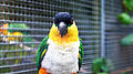 Black-headed parrot (Pionites melanocephalus) (4).jpg