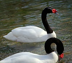 Black-necked Swan (Cygnus melancoryphus) -two on water.jpg