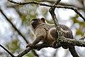 Black-tailed Marmoset (Callithrix melanura) (31800656045).jpg