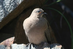 Black-winged ground dove - Image: Black winged Ground dove