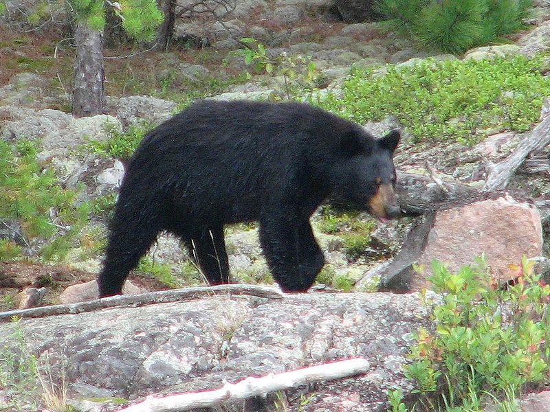 File:Black Bear, female, Quetico.jpg