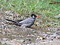 Black bulbul- taking bath I IMG 3126.jpg