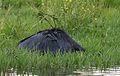 Black heron, Egretta ardesiaca, at Marievale Nature Reserve, Gauteng, South Africa (29946835560).jpg