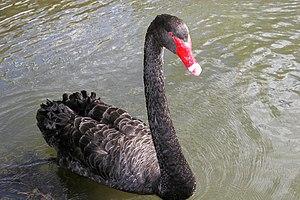 черный лебедь картинки