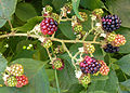 Blackberries Out Front.jpg