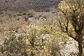 Bladderpod (Peritoma arborea) blooming in Wilson Canyon, January 2015 (15762161524).jpg
