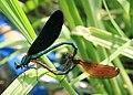 Blauflügel-Prachtlibelle Calopteryx virgo mating 8223.jpg