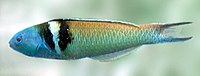 Blue-headed wrasse det.jpg