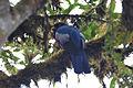 Blue-tailed Trogon (5184637482).jpg