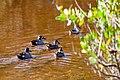 Blue-winged teal (20301857250).jpg