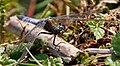 Blue Dragonfly 4 (7622676838).jpg