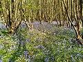 Bluebells, Sylvanus Wood, Wotton, Surrey.jpg
