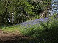 Bluebells in Woodcock Wood - geograph.org.uk - 1292050.jpg