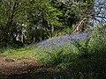 Bluebells in Woodcock Wood - geograph.org.uk - 1292050.jpg