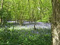 Bluebells in wood near Purvey's Pit - geograph.org.uk - 1271980.jpg