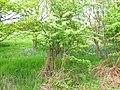 Bluebells in woodland - geograph.org.uk - 1886050.jpg