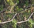 Blunt-winged Warbler (Acrocephalus concinens) W.jpg