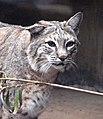 Bobcat (2147397974).jpg
