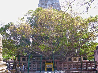 Sacred fig tree under which Buddha is said to have achieved enlightenment