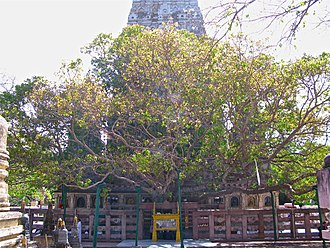 Bodhi Tree - The Mahabodhi Tree at the Sri Mahabodhi Temple in Bodh Gaya