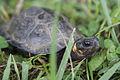 Bog turtle (18715348936).jpg