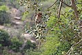 Bonnet macaque 05.jpg