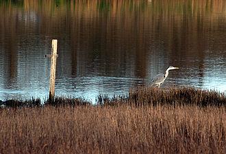 Booterstown marsh - Heron in Booterstown Marsh