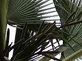 Borassus aethiopum 0004.jpg