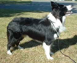 Border Collie Photo