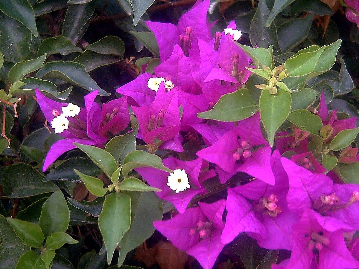 Bougainville Fleur pour bougainvillea — wikipédia