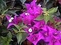 Bougainvillea spectabilis Flowers Closeup2 TorreLaMata.jpg