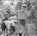 Boy Scouts Pick Fruit For Jam- Life at a Fruit-picking Camp Near Cambridge, Cambridgeshire, England, 1944 D16206.jpg