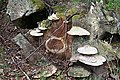 Bracket Fungi - geograph.org.uk - 793507.jpg